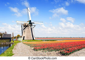 Windmill and flower fields - Typical, archetypal Dutch scene...