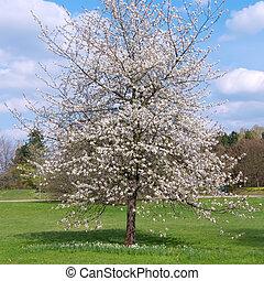 cereja, árvore