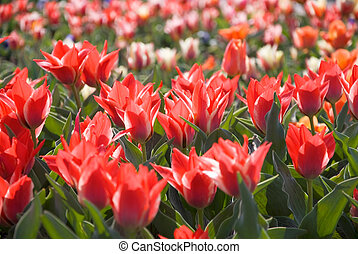 red tulips - many red tulips in a park