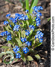 forget-me-not - blue forget-me-not flowers in a patch