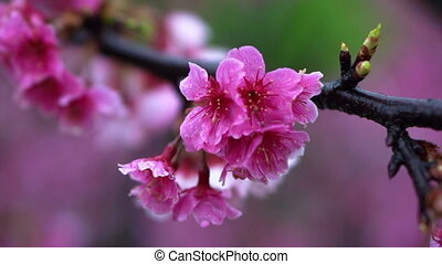 Cherry blossom flowers Sakura - Cherry blossom flowers...