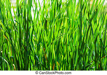 green lush grass in a field close-up