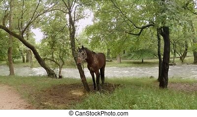 Brown Horse On Leash Standing In Park - Moving shot passing...