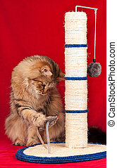 Adult siberian cat - Siberian cat playing with scratching...