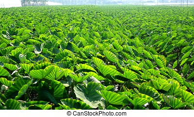 Large Taro Field - A large field planted with taro in Taiwan