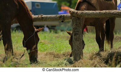 Two Brown Horses Grazing On Meadow