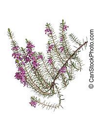 Lucky purple heather, calluna, isolated on white. - Wild...