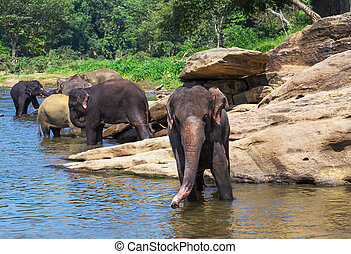 Elephant Sri Lanka park Pinnawala - River in National park...