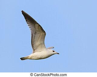 Common Black-headed Gull in flight
