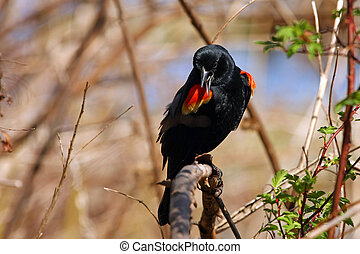 Red-winged Blackbird Male Perched On Branch