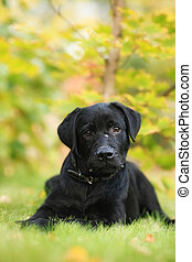 beautiful purebred black Labrador puppy is lying on a green...