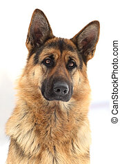 Portrait of a German shepherd