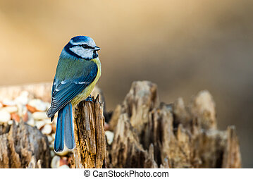 Looking Around - The bluetit parus caeruleus is perching on...