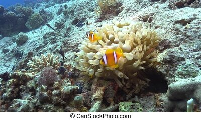 Clown Anemonefish on Coral Reef, underwater scene