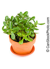 green jade plant on white background - green jade succulent...