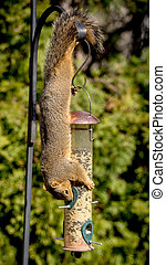 Squirrel hangs upside down snacking on bird seeds - squirrel...
