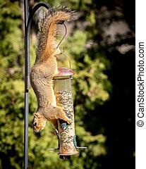 squirrel stealing food from bird feeder - Squirrel hands...