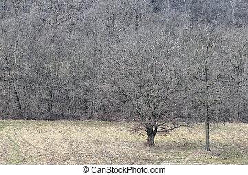 oak tree in winter time