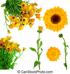 Collection of fresh  calendula flowers