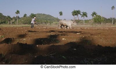 4-Man Farmer Working Hard Plowing The Soil With Ox - Farming...