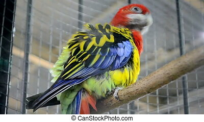 parrot on wooden perch, exotic bird - color rainbow parrot...