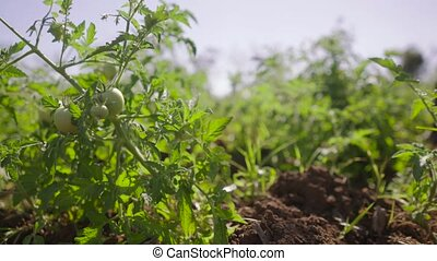 9-Farmer Walking In Tomato Field Inspecting Plants - Farming...