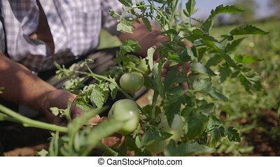 13-Farmer Examining Leaves Of Tomato Plant In The Field -...