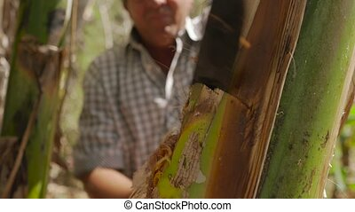 17-Man Farmer Cutting Banana Platano Plant With Machete In...