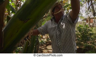 18-Man Farmer Cutting Banana Platano Tree With Machete In...