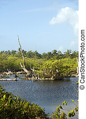 fresh water swamp big corn island nicaragua - the water...