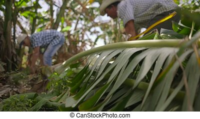 20-Men Farmers Cutting Banana Platano Tree And Moving It On...