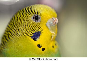 Green Budgie Bird