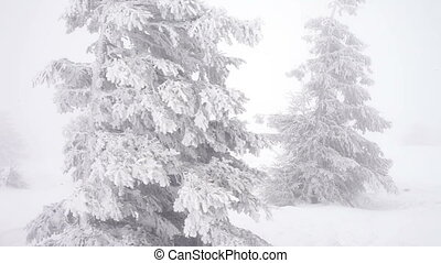 Christmas fir trees in snow winter wild forest snowing