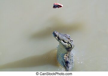 Jumping crocodile in the Adelaide River, Australia