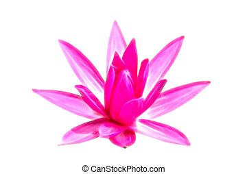 Glow image of Pink waterlily on white background.