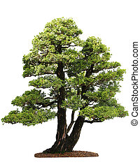 Cupressus Tree - Small cupressus bonsai tree isolated on...