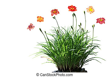 Daylily Flower Plant - Daylily flower plant isolated on...