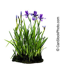 Iris Flower Plant - Purple iris flower plant isolated on...