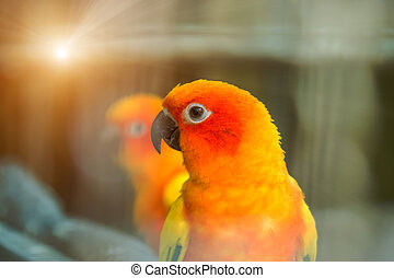 Close up of Lovely Sun Conure Parrot.