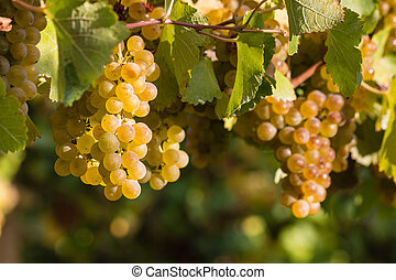 chardonnay grapes on vine - ripe chardonnay grapes on vine