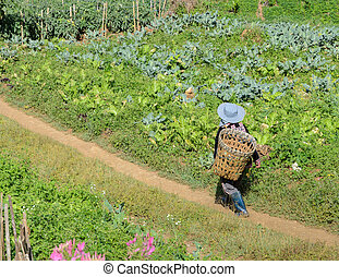 Hill tribe of Hmong with basket at vegetable agriculture...