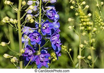 closeup of blue delphinium flowers in bloom