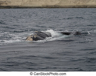 Southern Right Whale, seen at Purto Pyramides, Patagonia,...