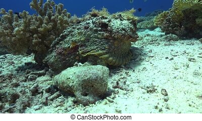 Stonefish on Vibrant Coral Reef