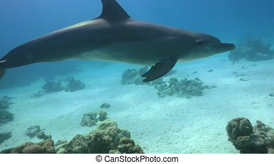 Dolphins Swims Near Divers, underwater scene