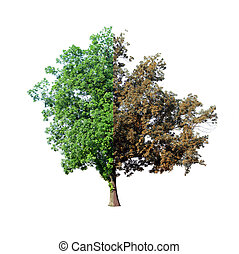 Tree with dying half isolated on white background, ecology...