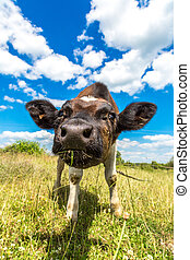 Little calf standing in grassy field in a summer day