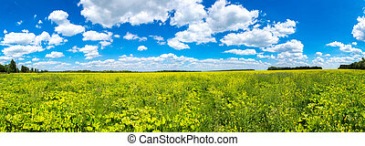 Colza field and blue sky in a summer day
