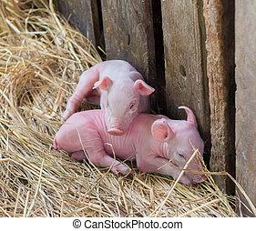 Pig Farm - Newborn piglets on the farm.