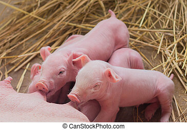 Pig Farm - Newborn piglets on the farm.